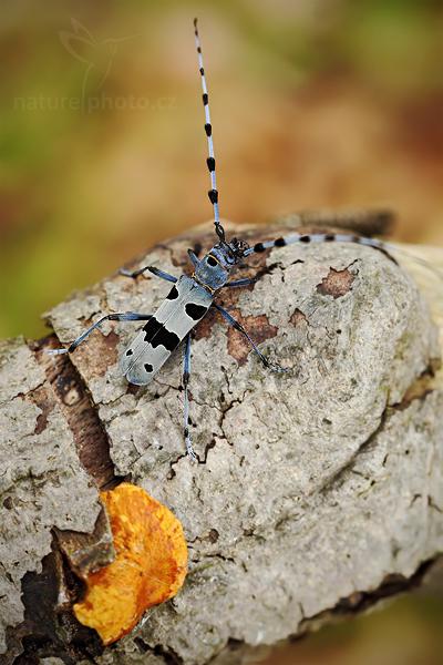 Tesařík alpský (Rosalia alpina)