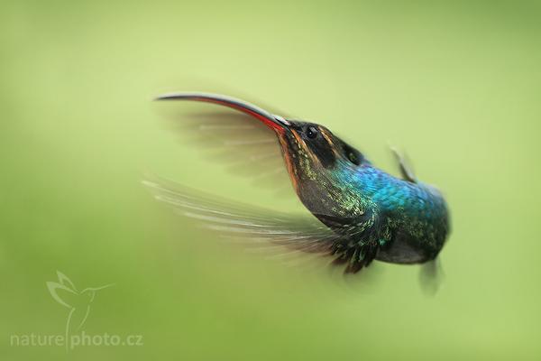 Kolibřík šedobřichý (Phaethornis guy)