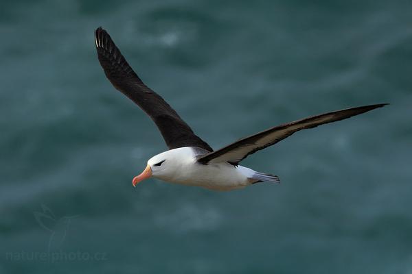 Albatros černobrvý (Thalassarche melanophris),