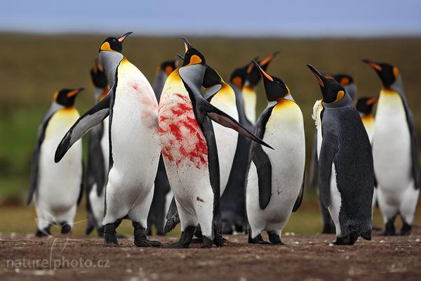 Tučňák patagonský (Aptenodytes patagonicus)