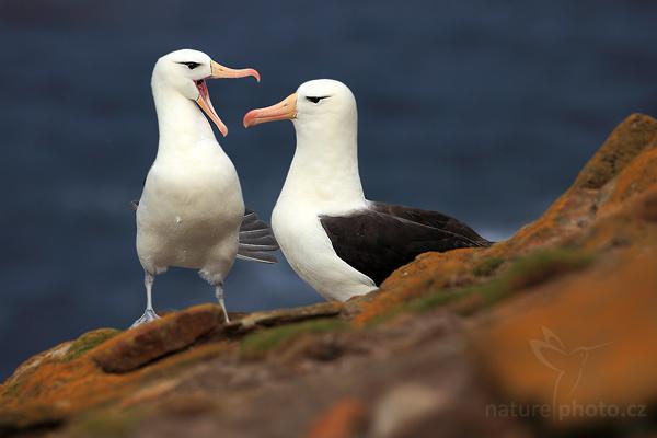 Albatros černobrvý (Thalassarche melanophris)