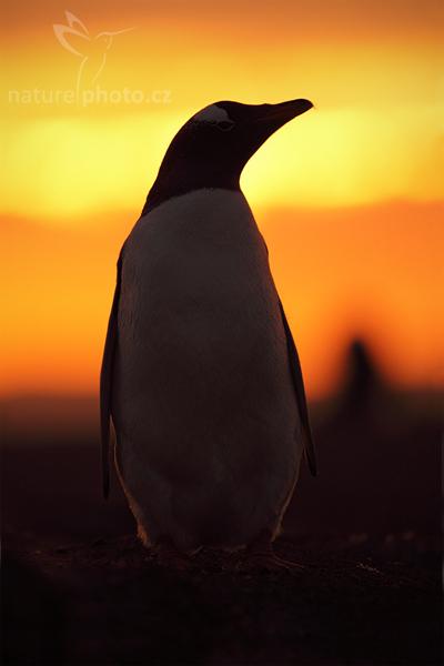 Tučňák oslí (Pygoscelis papua)
