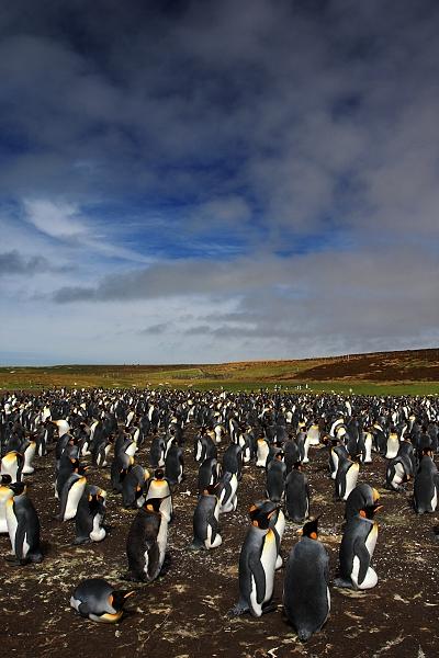 Tučňák patagonský (Aptenodytes patagonicus),