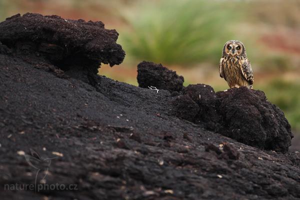 Kalous pustovka (Asio flammeus sanfordi),