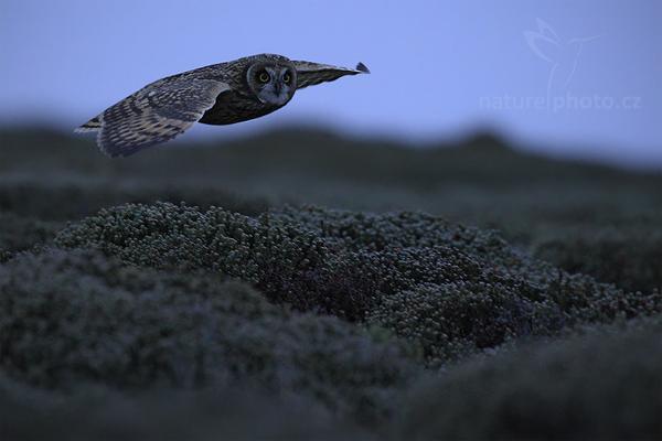 Kalous pustovka (Asio flammeus sanfordi)