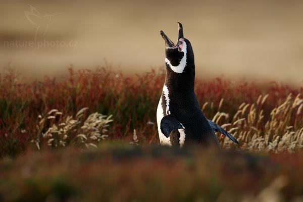 Tučňák magellanský (Spheniscus magellanicus)