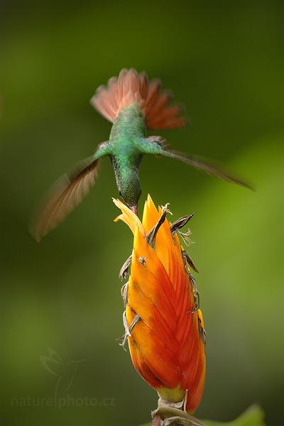 Kolibřík rezavoocasý (Amazilia tzacatl)