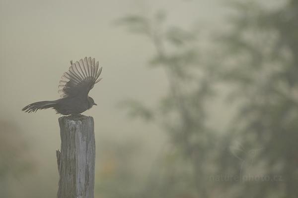 Drozdec černohlavý (Dumetella carolinensis)