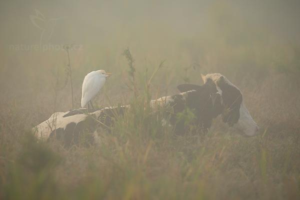 Volavka bělostná (Egretta thula)