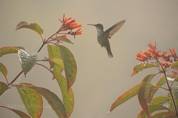 Kolibřík chiapaský (Amazilia kandida)