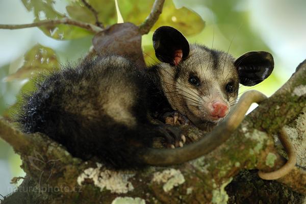 Vačice opossum (Didelphis marsupialis)