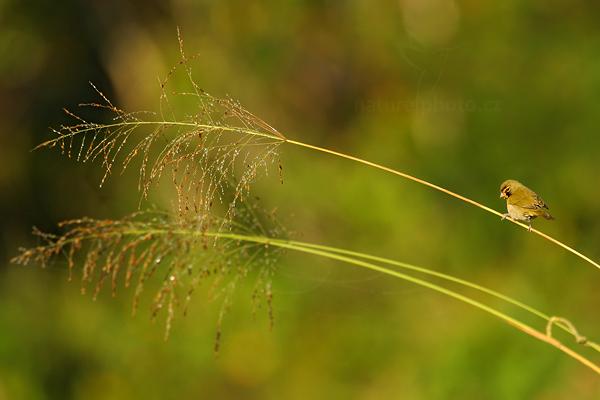 Kubánka velká (Tiaris olivaceus)