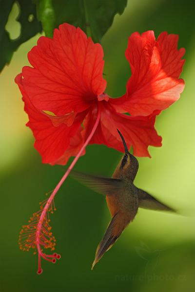 Kolibřík pruhoocasý (Threnetes ruckeri)