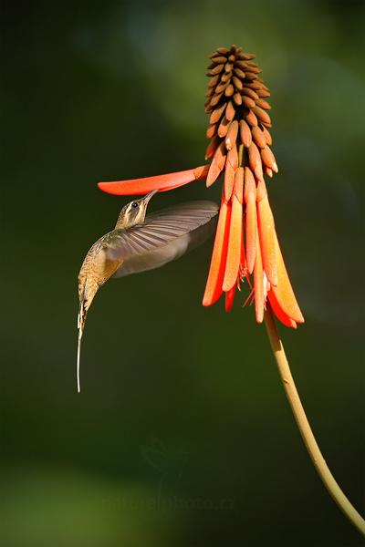 Kolibřík západní (Long-billed Hermit)