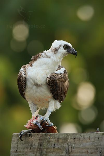 Orlovec říční (Pandion haliaetus)