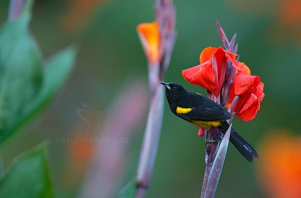 Trupiál karibský (Icterus dominicensis)