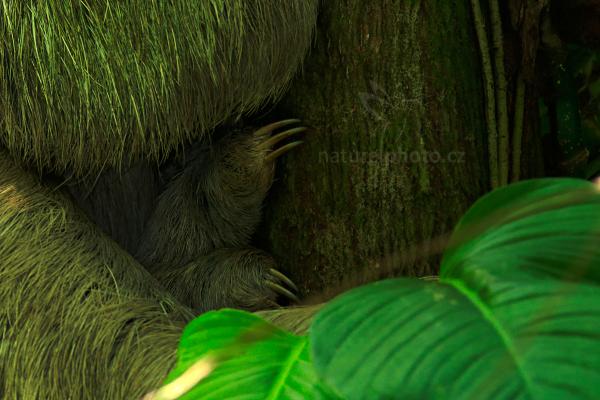 Lenochod tříprstý (Bradypus tridactylus)