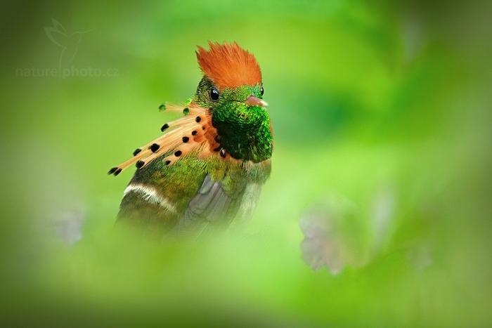 Kolibřík ozdobný (Lophornis ornatus)