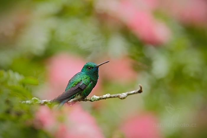 Kolibřík modrobradý (Chlorostilbon notatus)