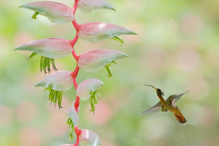 Kolibřík ryšavoocasý (Glaucis hirsutus)