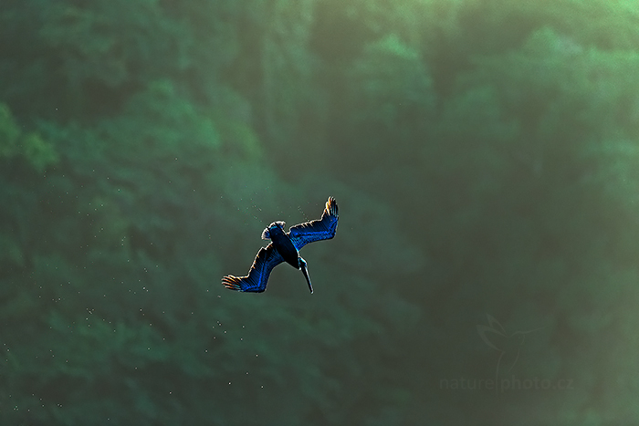 Pelikán hnědý (Pelecanus occidentalis)