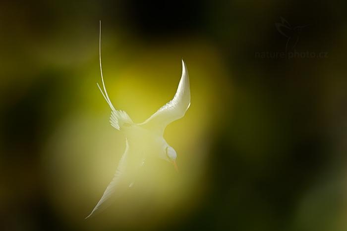 Faeton červenozobý (Phaethon aethereus)