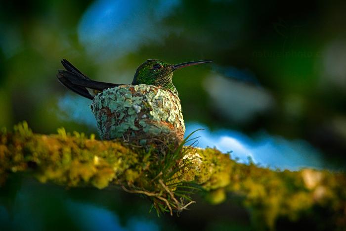 Kolibřík měděnořitý (Amazilia tobaci)