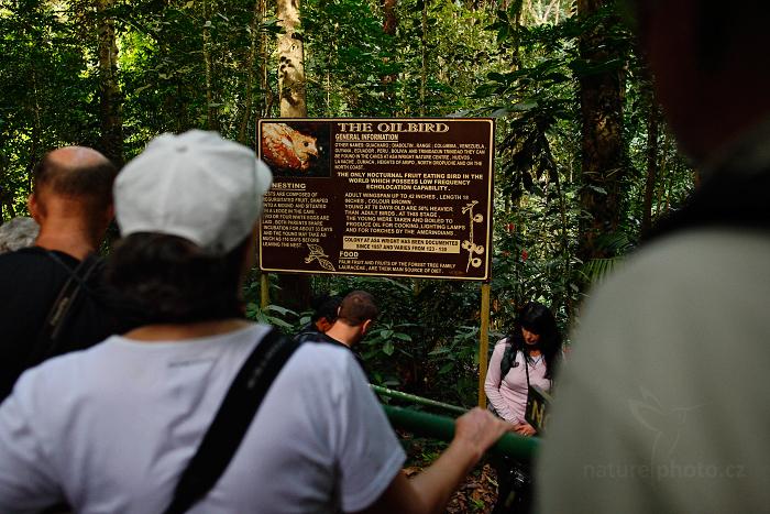 Gvačaro jeskynní (Steatornis caripensis)