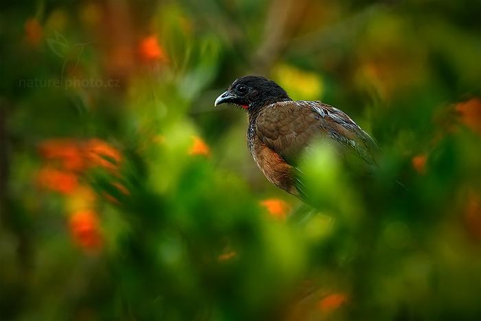 Čačalaka rudořitá  (Ortalis ruficauda)