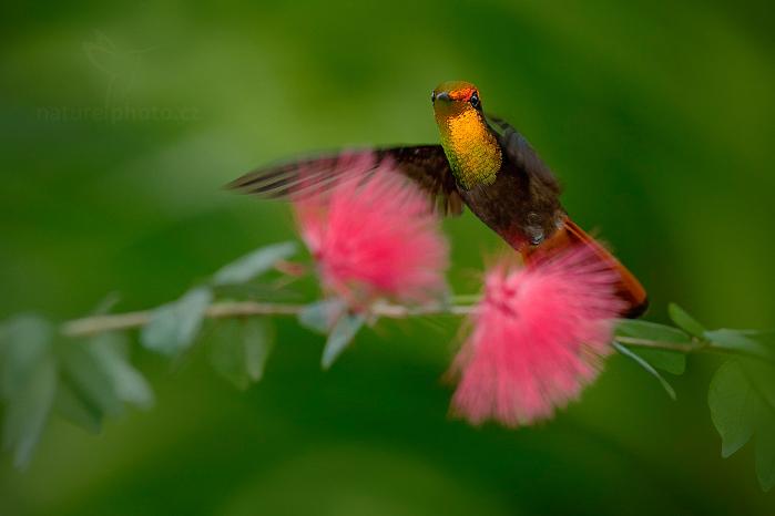 Kolibřík žlutohrdlý (Chrysolampis mosquitus)