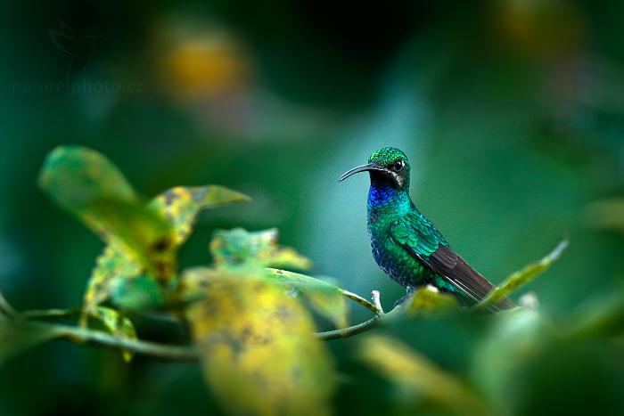 Kolibřík běloocasý (Campylopterus ensipennis)