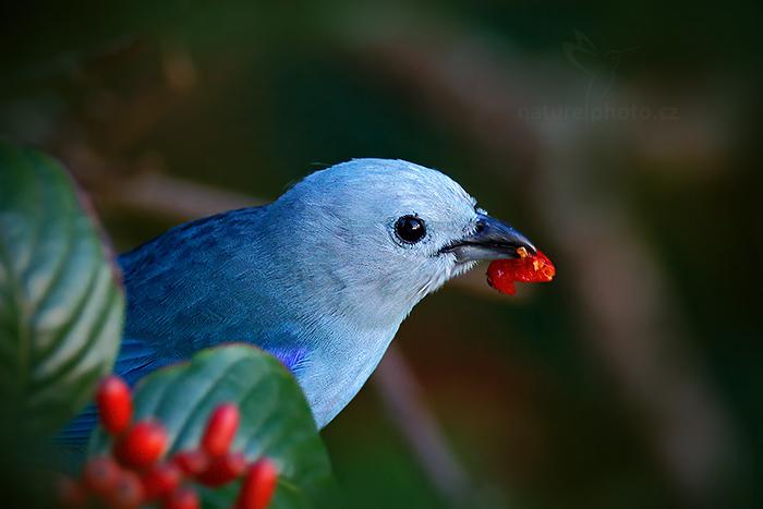 Tangara modrá (Thraupis episcopus)