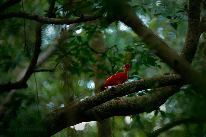 Ibis rudý (Eudocimus ruber)
