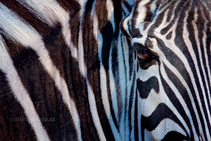 Zebra Böhmova (Equus quagga boehmi)