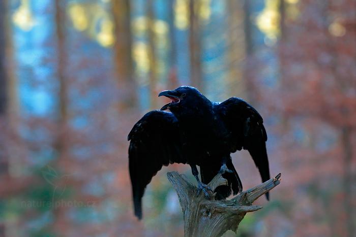 Krkavec velký (Corvus corax)