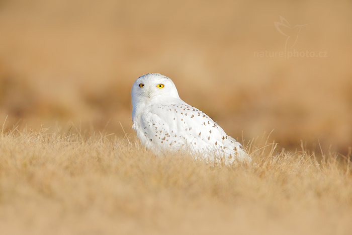 Sovice sněžná (Buteo scandiaca)
