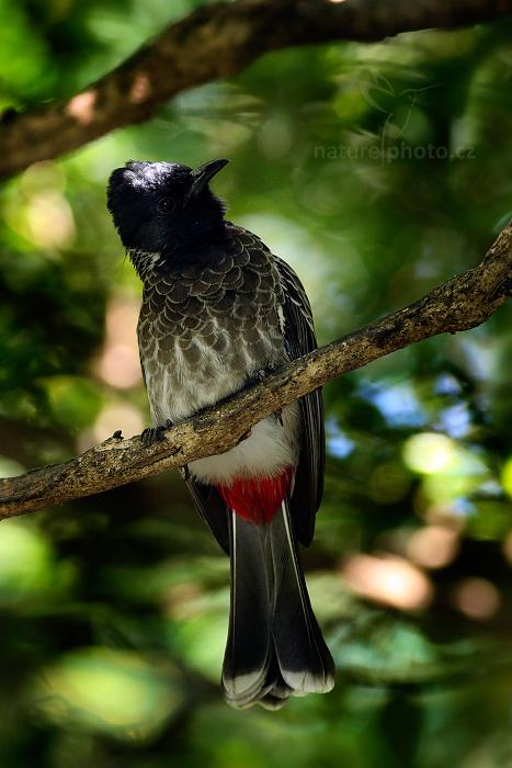 Bulbul šupinkový (Pycnonotus cafer)