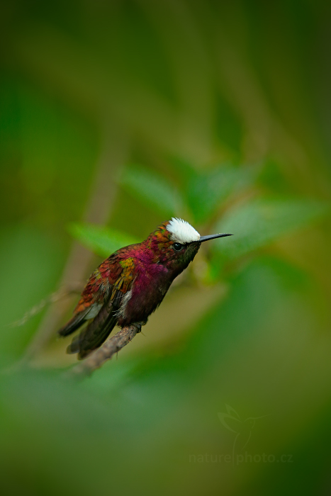 Kolibřík běločelý (Microchera albocoronata)