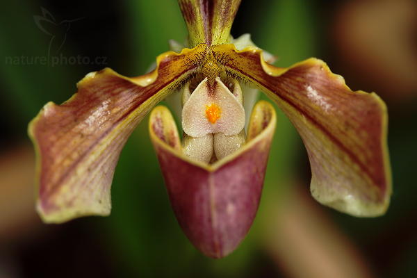 blíže neurčená orchidej,