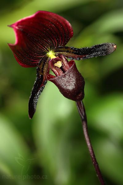 blíže neurčená orchidej