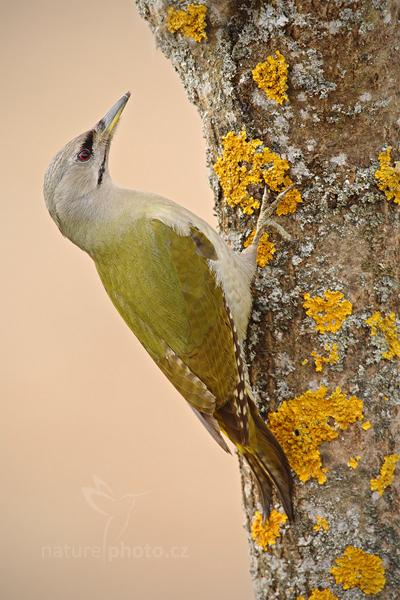 Žluna šedá (Picus canus)