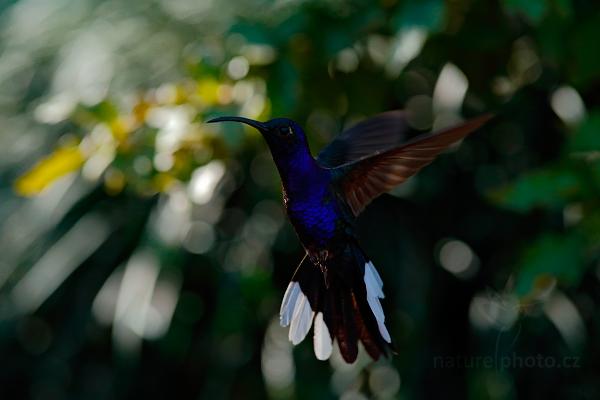 Kolibřík fialkový (Campylopterus hemileucurus)