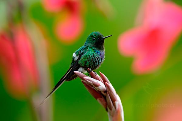 Kolibřík ploskoocasý (Discosura conversii)