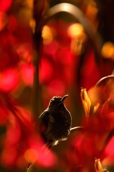 Kolibřík páskoocasý (Eupherusa eximia)