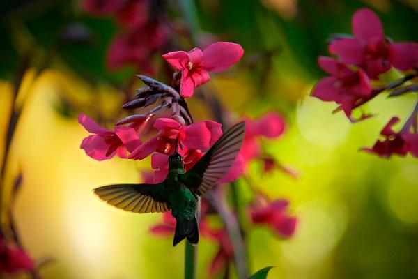 Kolibřík skvostný (Eugenes fulgens)