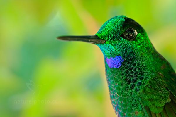 Kolibřík zelenotemenný (Heliodoxa jacula)
