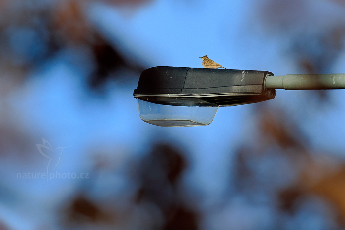 Chocholouš obecný (Galerida cristata)