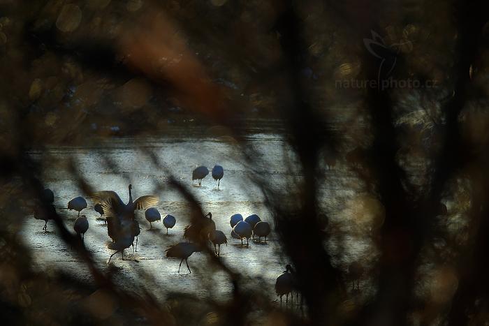 Jeřáb mandžuský (Grus japonensis)