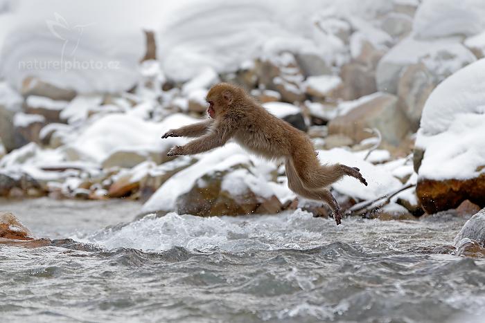 Makak červenolící (Macaca fuscata)