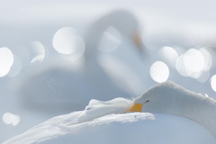 Labuť zpěvná (Cygnus cygnus)